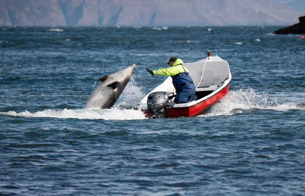 Buoyant mood: Jimmy Flannery is greeted by Fungie the dolphin off the coast of Dingle, Co Kerry, while out in his boat. Photo: Domnick Walsh