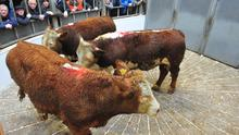 3 Herefords Heifers. Weight 558 Kg. Dob 10/01/17. Sold for €1280 each.
