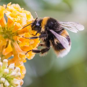 'For the bumblebee that comes out of hibernation, this and next month, cannot get the nectar it desperately needs because there simply aren't enough so-called weeds and flowering plants' (stock photo)