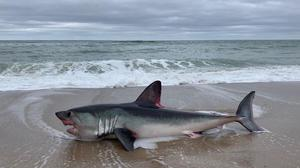 Rare species: Marine biologist Kevin Flannery says the North Bay/Tralee Bay should be a marine protected area after a 10ft porbeagle shark beached nearby
