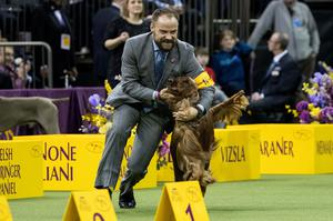 Adrian the Irish Setter was runner up for 'best-in-show' on the final night at the Westminster Kennel Club Dog Show at Madison Square Garden, February 14, 2017 in New York City.