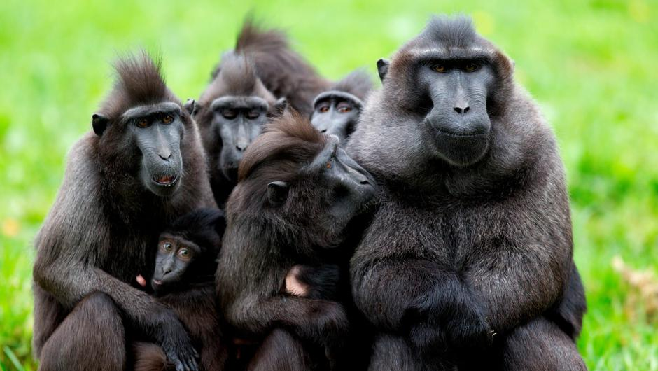 Sulawesi crested macaques at Dublin Zoo. Photo: Patrick Bolger
