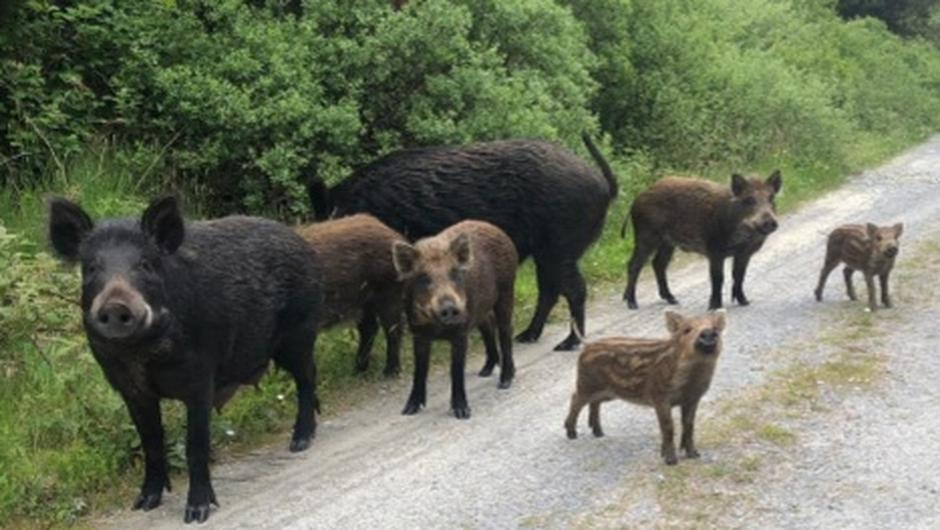 Wild boar in Kerry mountains. Credit Radio Kerry