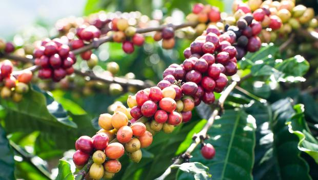 Under threat: Coffee cherries on the plant