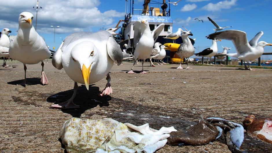Seagulls scavenge for food in Howth, Co Dublin. Photo: Brian Lawless/PA