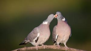 The NPWS has called for a limit on the open season for shooting wood pigeon