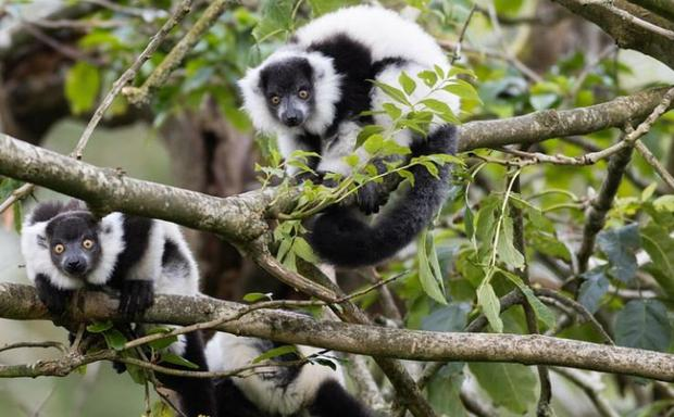 All three bland-and-white ruffed lemurs were born on June 3 at Fota Wildlife Park in east Cork. The new arrivals now share their island habitat with their four older siblings. Photo: Fota Wildlife Park/Twitter