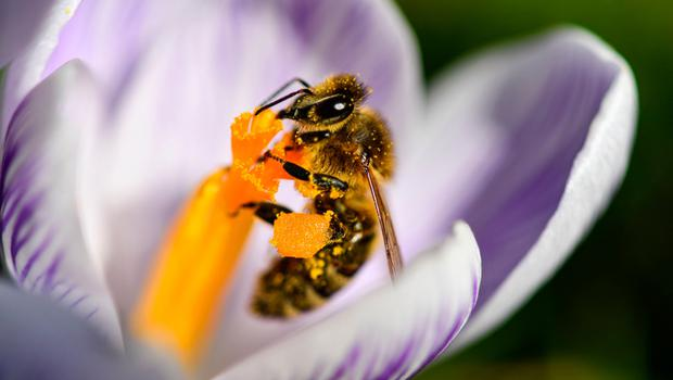 Bees favour fragrant plants Photo: AFP/Getty Images