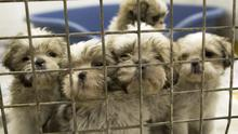 Some of the 116 puppies in the care of the DSPCA. Photo: Fergal Phillips