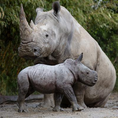 Dublin Zoo announced the birth of a southern white rhinoceros calf earlier this year. Photo: Patrick Bolger