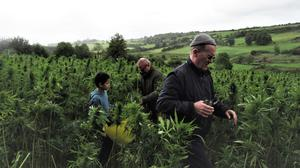Kim Kindersley, front, with Michael Ó Lionsaigh and his son Niall in the hemp fields