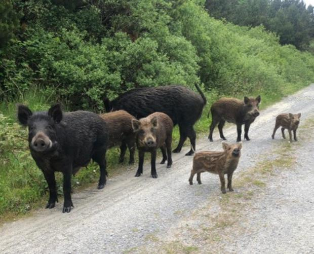 The family of wild boar spotted in Kerry that was subsequently culled. Picture: Radio Kerry
