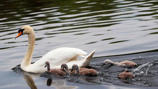 Cygnets hurry to keep up with their mother on a pond in St Stephen's Green in Dublin's city centre. Photo: Brian Lawless/PA Wire
