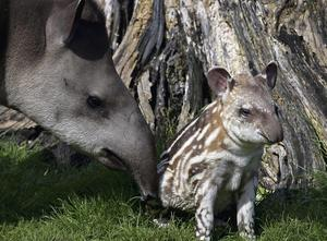 The baby tapir with mother Rio at the zoo