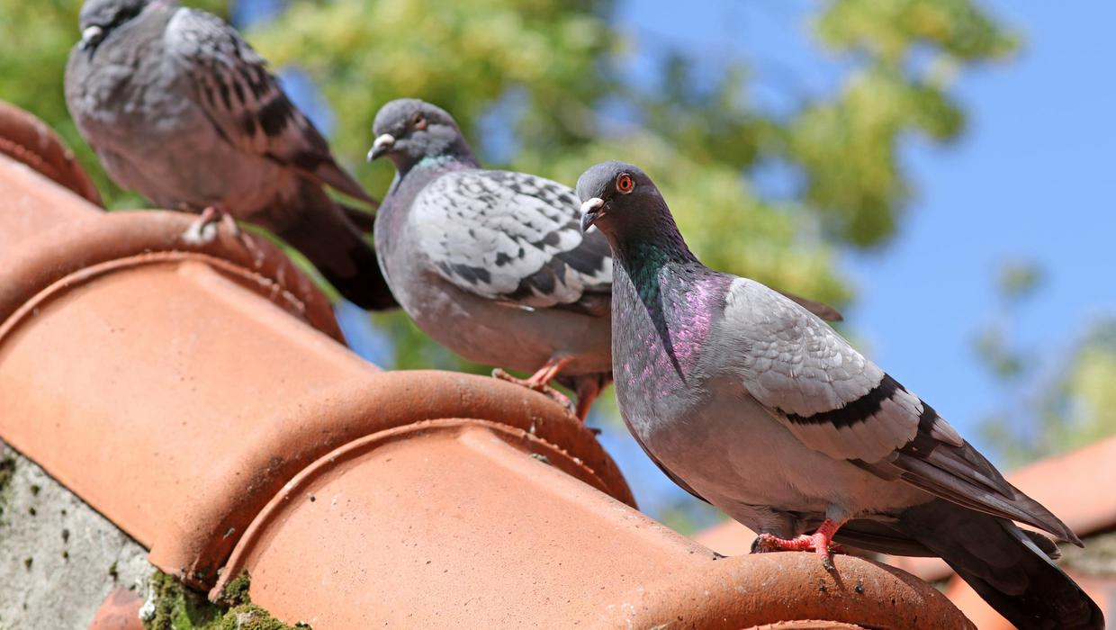 'Worst day in pigeon-racing history' as 10,000 birds vanish during solar storm