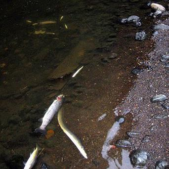 An investigation has been launched after about 500 fish died in the River Dodder in Dublin