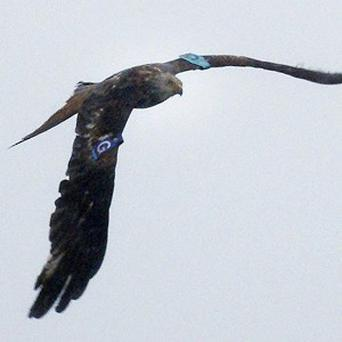 A young red kite has died from poisoning in a similar manner to its mother