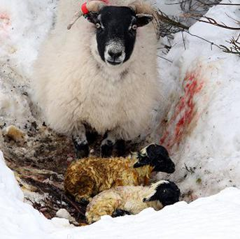Farmers are struggling to locate missing livestock after heavy snowfall