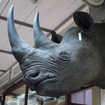 One of the four rhinoceros heads worth about 500,000 euro each which has been stolen from museum storage (National Museum of Ireland/PA)