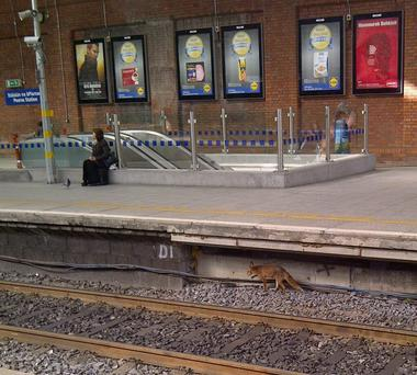 The foxes have been living under the southbound platform at Pearse Station in Dublin for at least three months.