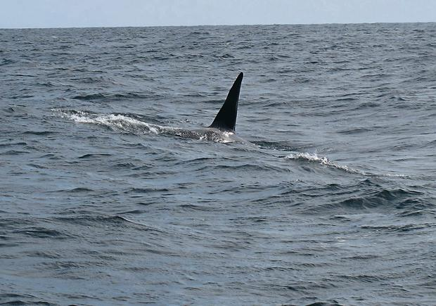 One of the orcas spotted off the Donegal coast by fishermen John and Pat Cunningham