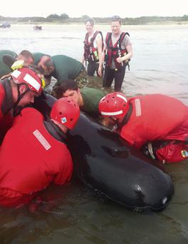 Members of the Defence Forces and a local rescue team help return a beached pilot whale to the sea in Co Meath