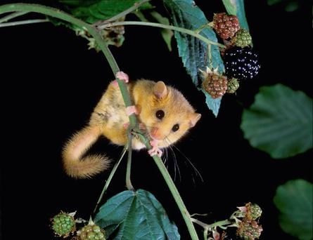 A dormouse sighted in Co Kildare
