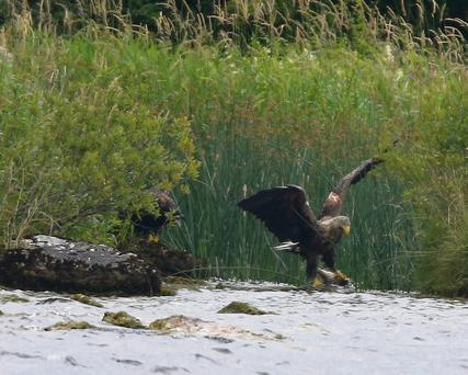 An adult white-tailed eagle on Lough Derg, Co Clare. Photo: Nigel Beers-Smith