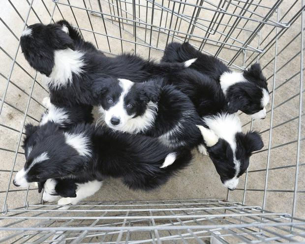 Collie pup left at Monaghan ISPCA