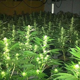 About 600 cannabis plants were found during a raid at a house in Co Cok
