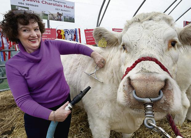 Kathleen Hargroves blow dries 'Ballydavis Gorgeous' at the Ploughing Championships