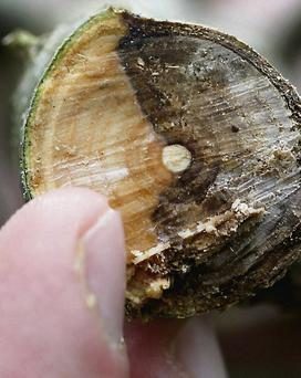 Deadly: tree showing signs of ash dieback disease infection