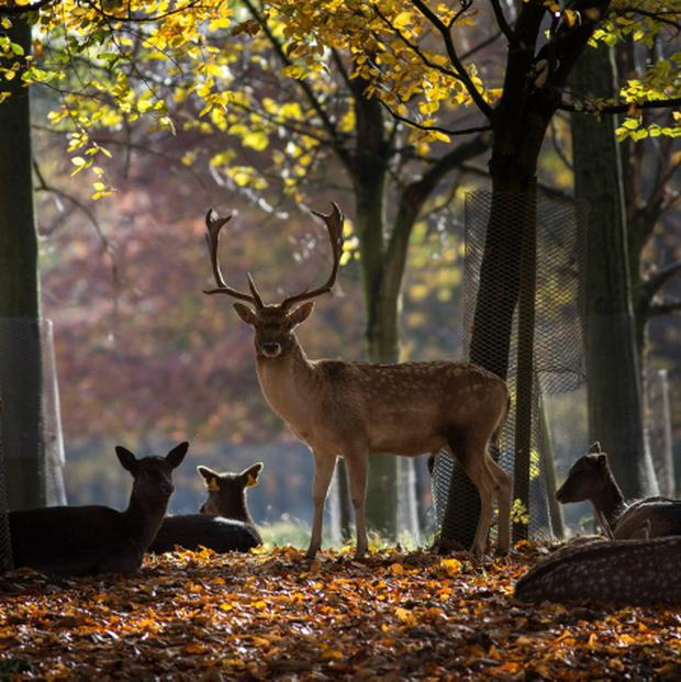Deer numbers have rocketed in recent years and the population explosion has forced deer from the uplands and onto farmland.