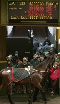 Chicquita, the horse which sold for €6m at an auction in Goffs in Co Kildare, last night.