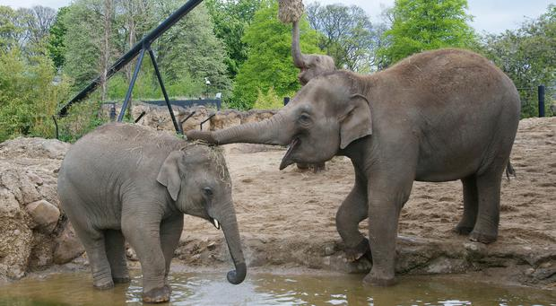 Dublin Zoo is at the forefront of an elephants' worldwide breeding programme and is hoping that a new arrival may be on the way