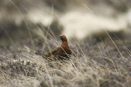 The threatened Red Grouse is recovering thanks to a €3m compensation scheme for farmers.
