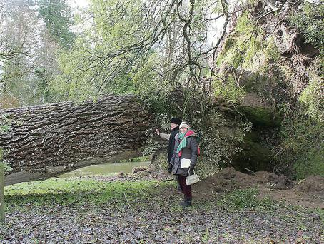 Giant grey tree blown down in grounds of Birr Castle