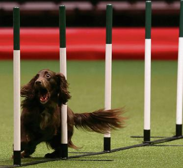 A dog competes in the agility competition on the second day of the Crufts dog show in Birmingham. Photo: Getty