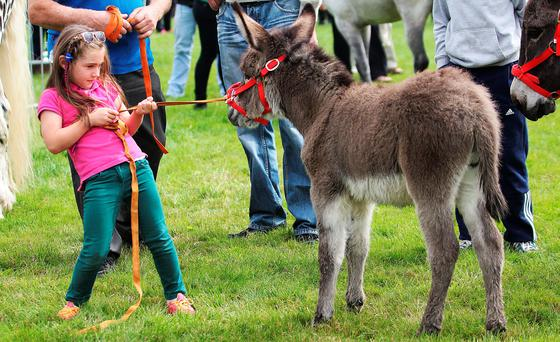 Caitlin Crowe (5) struggles with her donkey at the Virginia Agricultural Show in Cavan on Wednesday afternoon. Photo: Lorraine Teevan