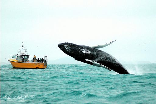 A humpback whale breaches at the mouth of Baltimore Harbour.