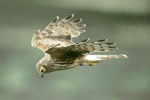 The hen harrier as