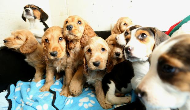 Rescued puppies' adoption stalled until 'owner' identified