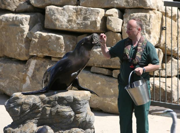 Eddie O'Brien feeds the Sea lions in their new Sea Lion Cove habitat at Dublin Zoo. Photo: Damien Eagers