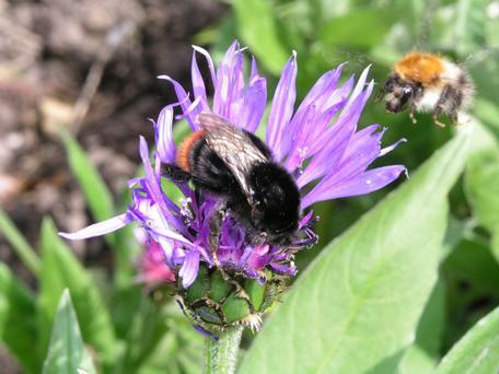 Red-tailed bumblebee and Common carder bee. Photo: John Breen