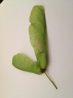 Sycamore tree seeds can be fatal for horses and ponies