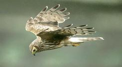 Protected species: Hen harrier