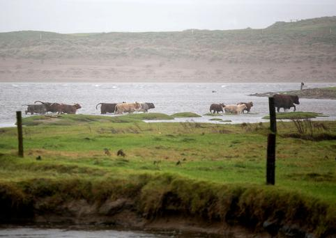Cattle on the move in Liscannor, Co Clare
