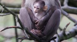 The baby white-crowned mangabey rests in its mother's arms at the zoo. Photo: Patrick Bolger