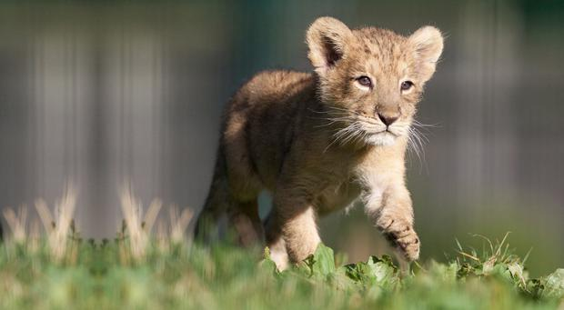 The Asian lion cub at Dublin zoo. Photo: Patrick Bolger
