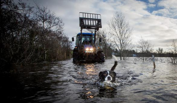 Murphy the dog swimming through the flood waters in Mukanagh, Athlone. Photo: Fergal Phillips